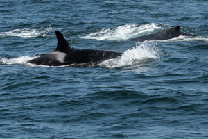 Biggs Killer Whale orca If you would like a copy of this photo please contact Mr. Pat Hathaway