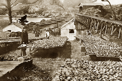 Abalone Industry, Circa 1895