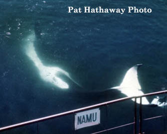 Namu Orca- If you would like a copy of this photo please contact California Views Thank you Pat Hathaway